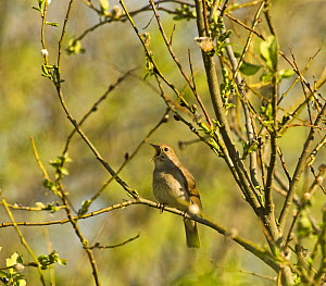 Thrush nightingale (Luscinia luscinia) in tree singing, Matsalu National Park, Estonia, May 2009  -  Wild Wonders of Europe / Rautiai