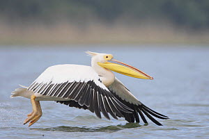 Eastern white pelican (Pelecanus onolocratus) taking off from river, Danube Delta, Romania, May 2009  -  Wild Wonders of Europe / Presti