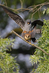 Red footed falcon (Falco vespertinus) pair mating, Danube Delta, Romania, May 2009  -  Wild Wonders of Europe / Presti