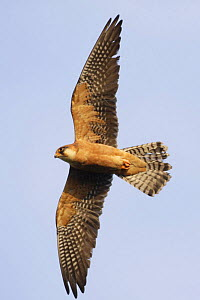 Red footed falcon (Falco vespertinus) in flight, Danube Delta, Romania, May 2009  -  Wild Wonders of Europe / Presti