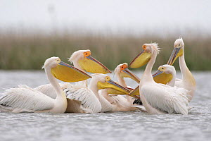 Eastern white pelicans (Pelecanus onolocratus) Danube Delta, Romania, May 2009  -  Wild Wonders of Europe / Presti