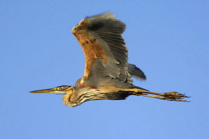 Purple heron (Ardea purpurea) in flight, Danube Delta, Romania, May 2009  -  Wild Wonders of Europe / Presti