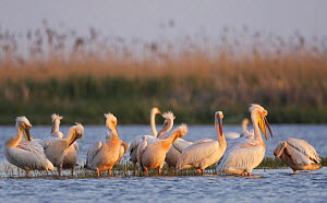 Eastern white pelicans (Pelecanus onolocratus) preening in shallow water, Danube Delta, Romania, May 2009  -  Wild Wonders of Europe / Presti