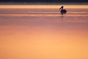 Eastern white pelican (Pelecanus onolocratus) silhouetted at sunset, Danube Delta, Romania, May 2009  -  Wild Wonders of Europe / Presti