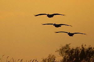 Three Eastern white pelicans (Pelecanus onolocratus) in flight, silhouetted at sunset, Danube Delta, Romania, May 2009  -  Wild Wonders of Europe / Presti