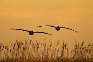 Two Eastern white pelicans (Pelecanus onolocratus) in flight, silhouetted at sunset, Danube Delta, Romania, May 2009  -  Wild Wonders of Europe / Presti