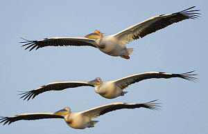 Three Eastern white pelicans (Pelecanus onolocratus) in flight, Danube Delta, Romania, May 2009  -  Wild Wonders of Europe / Presti