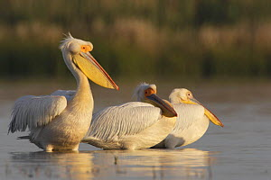Three Eastern white pelicans (Pelecanus onolocratus) in the Danube Delta, Romania, May 2009  -  Wild Wonders of Europe / Presti