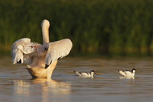 Rear view of an Eastern white pelican (Pelecanus onolocratus) stretching its wings, with two Avocets (Recurvirostra avosetta) Danube Delta, Romania, May 2009  -  Wild Wonders of Europe / Presti
