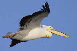 Eastern white pelican (Pelecanus onolocratus) in flight, Danube Delta, Romania, May 2009  -  Wild Wonders of Europe / Presti
