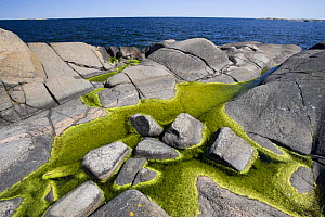 Algae growing in rock pools on rocky coast, L�ngvikssk�r, Stockholm Archipelago, Sweden, June 2009 - Wild Wonders of Europe / O. Haarberg