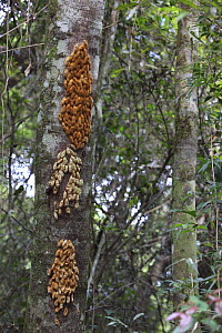 Mass of Butterfly cocoons (unidentified species) attached to tree trunk, some empty, some with pupae, Iguazu NP, Argentina - Michael Hutchinson