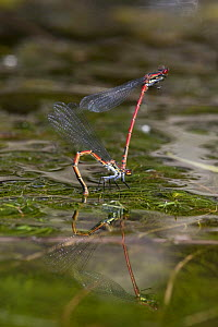 Large red damselfly (Pyrrhosoma nymphula), mated pair, female laying eggs (ovipositing) in pond with reflection in water, Bristol, UK - Michael Hutchinson