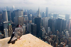 Feral pigeon / rock dove (Columba livia) perched on top of Empire State Building with view of Manhattan below, New York City, USA  -  Michael Hutchinson