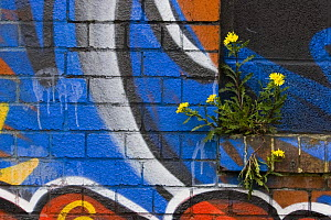 Groundsel {Senecio sp} growing out of brick wall covered in colourful graffiti, Bristol, UK  -  Michael Hutchinson
