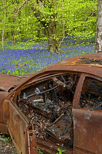 Abandoned burned out car in Bluebell Wood, Surrey, UK - Adrian Davies