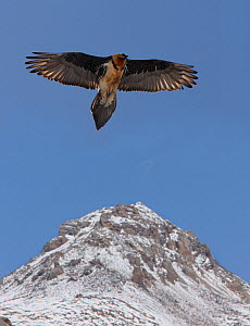 Lammergier {Gypaetus barbatus} soaring over the Himalayas, northern India  -  Ian McCarthy