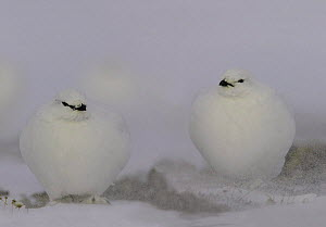 Pair of Rock ptarmigan {Lagopus mutus} in snow storm, Bathurst island, Nunavut, Canada  -  Ian McCarthy