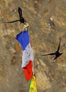 Alpine / Yellow billed chough {Pyrrhocorax graculus} flying around bhuddist prayer flag, Dolpo, Nepal  -  Ian McCarthy