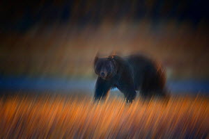 Grizzly bear {Ursus arctos horribilis} beside water, long exposure image, Yellowstone National Park, Wyoming, USA, October  -  Jeff Vanuga