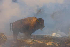 Bull Bison (Bison bison) warming himself in the steam from the Firehole River, Upper Geyser Basin, Yellowstone National Park, Wyoming, USA, January - Jeff Vanuga