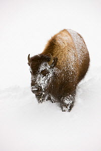 Bison (Bison bison) in deep snow in the Upper Geyser Basin, Yellowstone National Park, Wyoming, USA, January 2008 - Jeff Vanuga