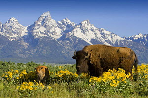 Bison {Bison bison} cow and calf amongst flowering Arrowroot balsamroot {Balsamorhiza sagittata} with the Teton mountains in the background, Grand Teton National Park, Wyoming, USA, June 2008 - Jeff Vanuga
