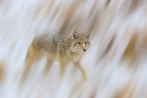 Coyote {Canis latrans} in snow, USA, September - Jeff Vanuga