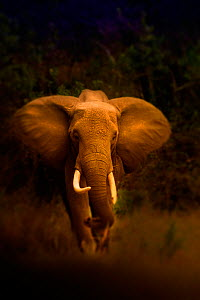 African elephant {Loxodonta africana} walking forward, Kenya, September - Jeff Vanuga