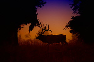 Silhouette of male Elk {Cervus canadensis} at dawn, crossing meadow in Yellowstone National Park, Wyoming, USA, September - Jeff Vanuga