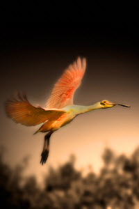 Roseate spoonbill (Platalea ajaja) in flight, Alafia Banks Preserve, Florida, USA, March - Jeff Vanuga