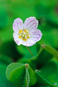 Wood Sorrel (Oxalis acetosella) flower, Banstead Wood SSSI, Surrey. UK - Russell Cooper