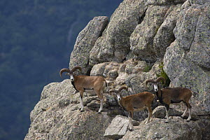 Three Mouflon (Ovis musimon) males on rock face, Parc naturel regional du Haut-Languedoc, Caroux, France, July 2009 - Wild Wonders of Europe / Arndt