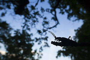Tanner / Sawyer beetle (Prionus coriarius) silhouetted on branch at dusk, Djerdab National Park, Serbia, June 2009 - Wild Wonders of Europe / Smit