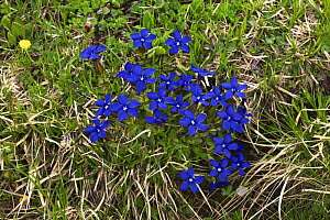 Spring gentians (Gentiana verna) in flower, Tre Cime di Lavaredo, Sexten Dolomites, South Tyrol, Italy, Europe, July 2009  -  Wild Wonders of Europe / Krahmer