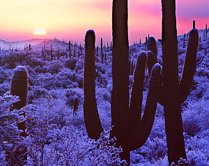 Cacti in snow with fog at sunrise, Saguaro National Park, Arizona, USA  -  Jack Dykinga