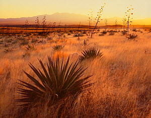 Flowering Agave (Agave palmeri) plants growing in grassland, Sands Ranch Conservation Area, with the Santa Rita Mountains in the distance at sunset, Pima Country, Arizona, USA  -  Jack Dykinga