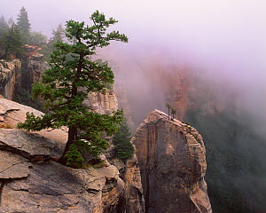 Pinyon pine (Pinus edulis) and Utah juniper (Juniperus osteosperma) on kaibab limestone spires in morning fog, North Rim, North Kalbab Trail, Grand Canyon National Park, Arizona, USA  -  Jack Dykinga