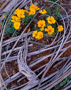 "California poppies (Eschscholzia californica) flowering between the ""ribs"" of a dead Saguaro cactus (Carnegiea gigantea) Barry M. Goldwater Range, Arizona, USA  -  Jack Dykinga"
