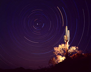 Saguaro cactus (Carnegia gigantea) lit up at night with star trails, Cabeza Prieta National Wildlife Refuge, Arizona, USA  -  Jack Dykinga