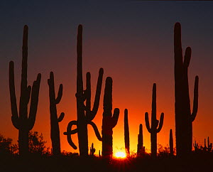 Saguaro cacti (Carnegiea gigantea) silhouetted at sunrise, Sand Tank Mountains, Sonoran Desert National Monument, Arizona, USA  -  Jack Dykinga