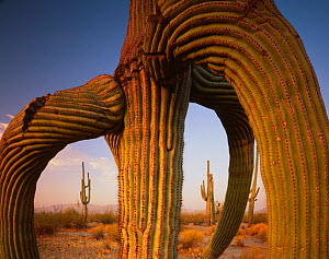 Saguaro cactus (Carnegiea gigantea) twisted by exposure to frost, Maricopa Mountains Wilderness, Sonoran Desert National Monument, Arizona, USA  -  Jack Dykinga