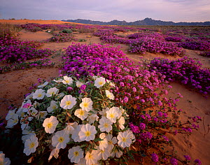 Birdcage evening primrose (Oenothera deltoides) and Desert sand verbena (Abronia villosa) flowering in desert, Pinta Sands, Sierra Pinta Mountains, Cabeza Prieta National Wildlife Refuge, Arizona, USA - Jack Dykinga