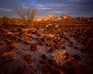 Ocotillo cactus (Fouquieria splendens) in desert landscape strewn with rod lava rock, Cabeza Prieta Mountains in the distance, dawn, Cabeza Prieta National Wildlife Refuge, Arizona, USA  -  Jack Dykinga