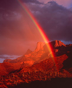 Rainbow at sunset over desert hillside with Saguaro cacti, Table Mountain in the distance, Pusch Ridge Wilderness, Coronado National Forest, Santa Catalina Mountains, Arizona, USA  -  Jack Dykinga