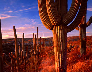 Saguaro cacti (Carnegiea gigantea) at sunset in the foothills of the Santa Catalina Mountains, near the Sutherland Wash, Catalina State Park, Arizona, USA  -  Jack Dykinga