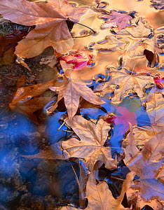 Leaves of Arizona sycamore (Platanus Wrightii) and Bigtooth maple (Acer saccharum grandidentatum) floating on water, South Fork Cave Creek, Coronado National Forest, Chiricahua Wilderness, Chiricahua...  -  Jack Dykinga