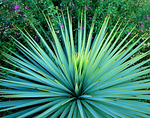 Dramatic rosette of spiked leaves of a Yucca plant, Tucson, Arizona, USA  -  Jack Dykinga