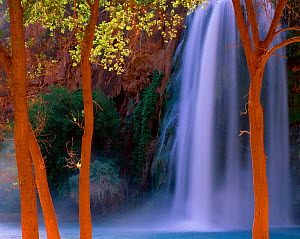 Havasu Falls cascade behind Fremont cottonwood trees (Populus fremontii) glowing in reflected canyon light, Havasupai Reservation, Arizona, USA  -  Jack Dykinga