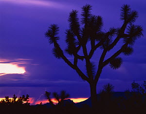 Silhouettte of Joshua tree (Yucca brevifolia) at sunset with lightning in background, Sonoran / Mojave transition zone, Joshua Forest Parkway, Arizona, USA  -  Jack Dykinga